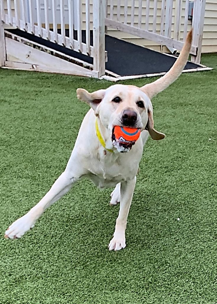 Happy yellow Lab with bright orange ball in her mouth.